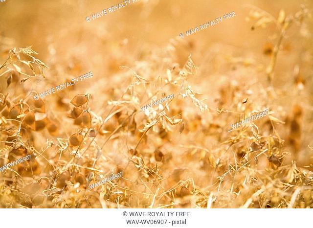 Close-up, full frame of ripe lentils, Saskatchewan