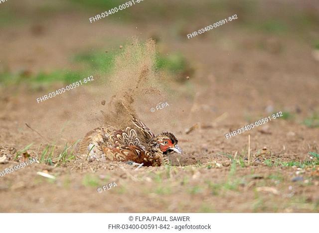 Common Pheasant Phasianus colchicus immature male, dust bathing, Suffolk, England, August
