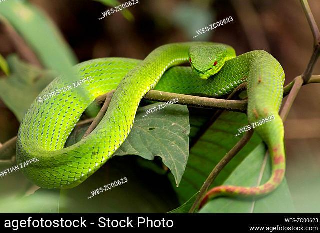 White-lipped pit viper, Trimeresurus albolabris