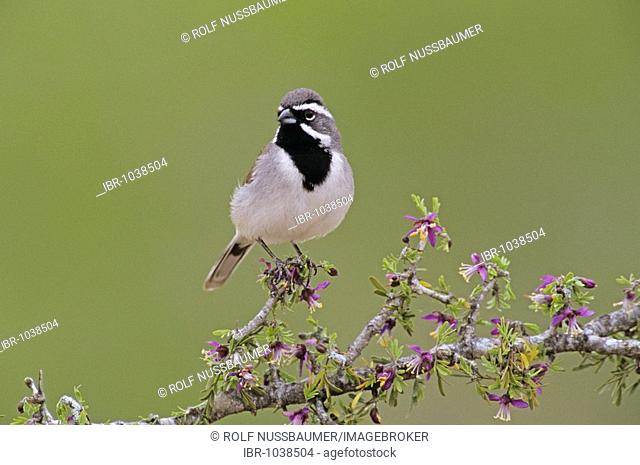 Black-throated Sparrow (Amphispiza bilineata), adult on blooming Guayacan (Guaiacum angustifolium), Starr County, Rio Grande Valley, South Texas, USA