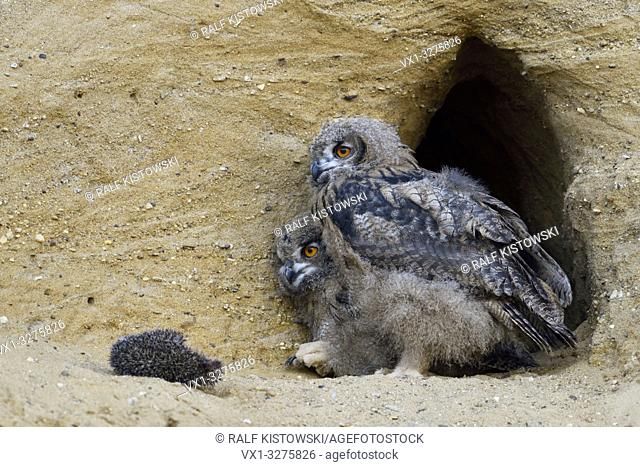 Eurasian Eagle Owls ( Bubo bubo ), moulting chicks with carcass of hedgehog sitting, standing in front at their nest burrow, wildlife, Europe