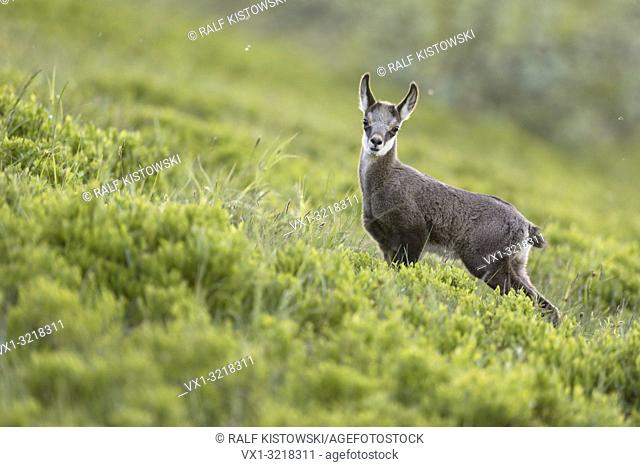 Alpine Chamois / Gaemse ( Rupicapra rupicapra ), cute fawn, young, standing in fresh green alpine vegetation, watching attentively