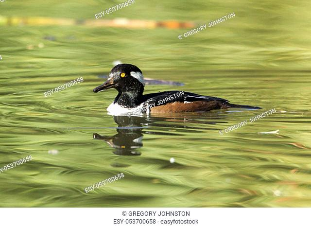 A male hooded merganser in the pond at Cannon Hill Park in Spokane, Washington