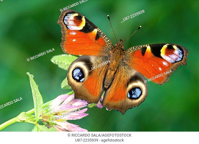 Italy, Lombardy, Butterfly, Inachis io, Close up