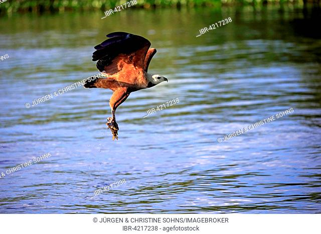 Black-collared hawk (Busarellus nigricollis), adult flying with prey, Pantanal, Mato Grosso, Brazil