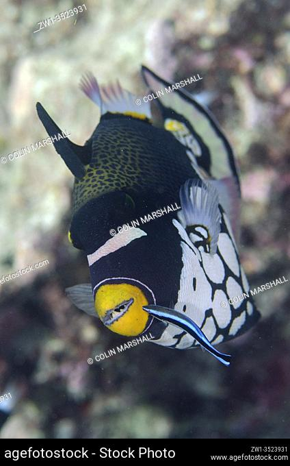 Clown Triggerfish (Balistoides conspicillum) being cleaned by a Bluestreak Cleaner Wrasse (Labroides dimidiatus), Karang Hatta dive site, Hatta Island