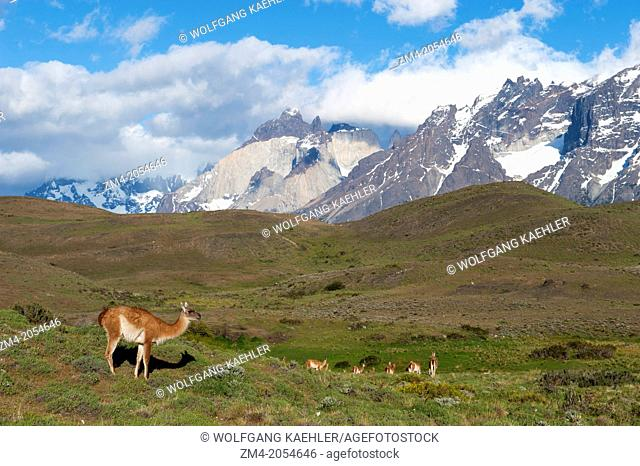Guanaco (Lama guanicoe) territorial male watching over females in Torres del Paine National Park in Patagonia, Chile