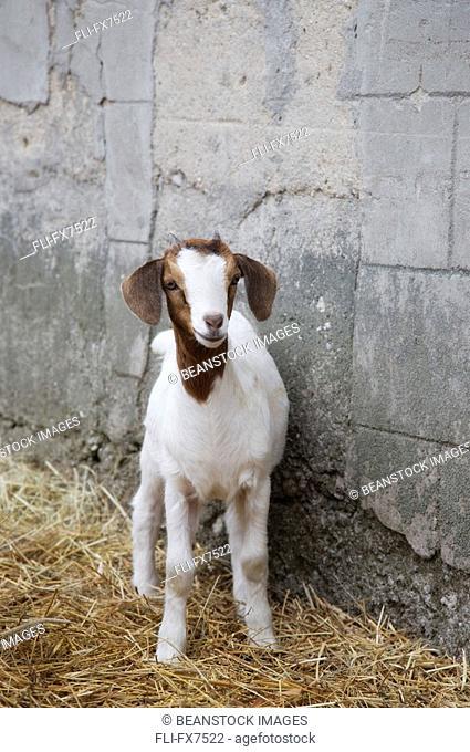 Goat Standing in Hay