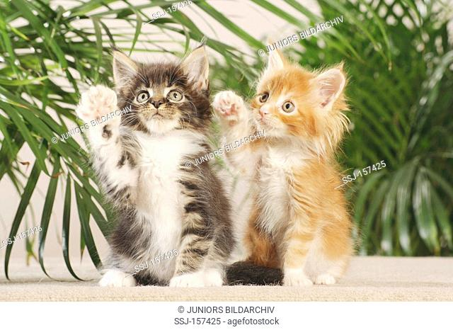 Maine Coon cat - two kittens lifting paw