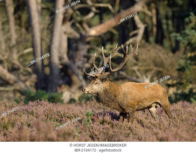 Red deer (Cervus elaphus), stag, Hoge Veluwe National Park, The Netherlands, Europe
