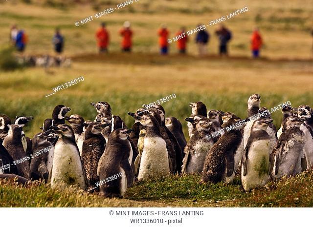A guided tourist party observing juvenile magellanic penguins, Spheniscus magellanicus, on Carcass Island, Falkland Islands
