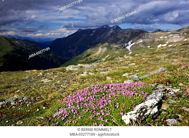 Austria, Salzburg country, Hohe Tauern, High Tauern National Park, Grossglockner high alpine road, moss campion, Silene acaulis
