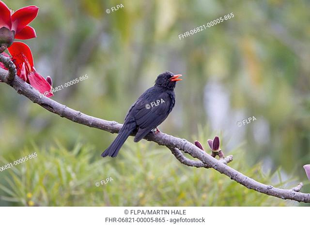 Black Bulbul (Hypsipetes leucocephalus) adult, with beak open, perched on branch with flowers, Hong Kong, China, March