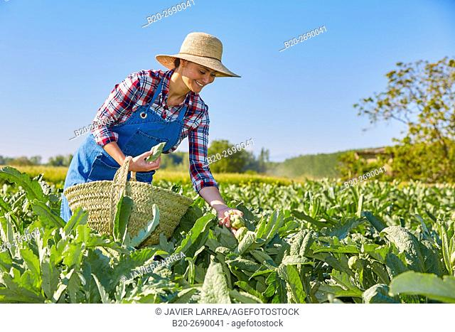 A farmer harvesting artichokes, Agricultural field, Milagro, Navarre, Spain