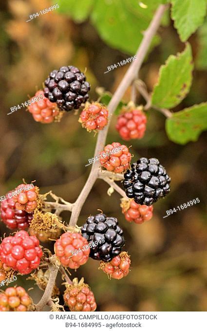 Blackberry (Rubus ulmifolius, fam. Rosaceae), Osseja, Languedoc-Roussillon, Pyrenees Orientales, France