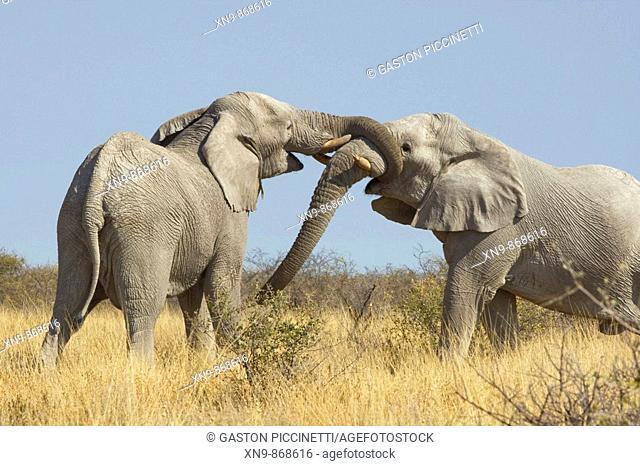 African elephant (Loxodonta africana) - Males, fighting, Etosha National Park, Namibia