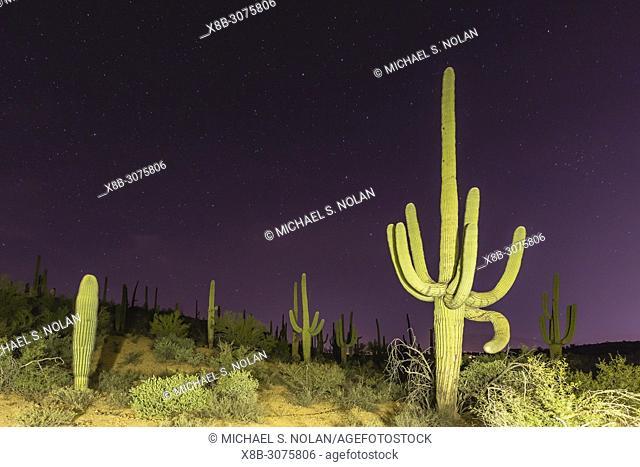 Giant saguaro cactus, Carnegiea gigantea, at night in the Sweetwater Preserve, Tucson, Arizona, USA