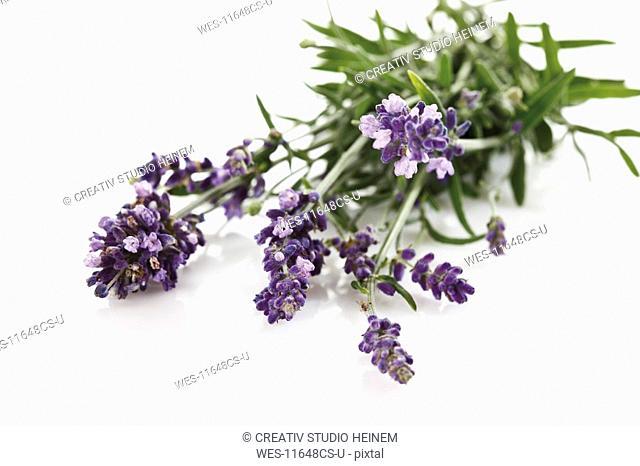 Bunch of lavender Lavandula angustifolia, elevated view