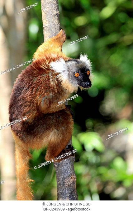 Black Lemur (Eulemur macaco), female on a tree