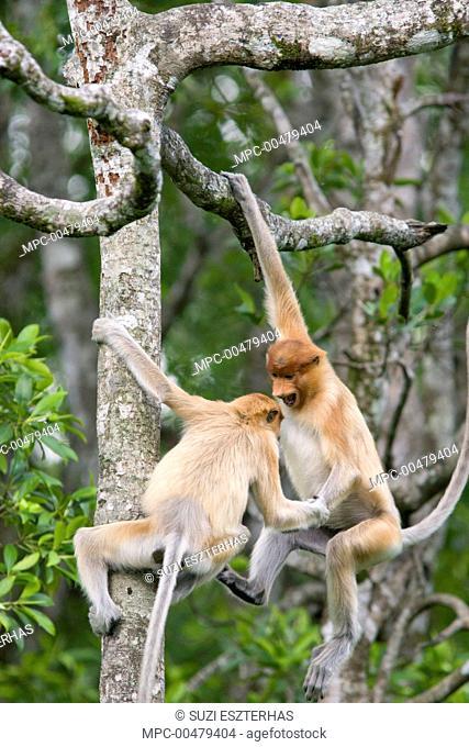 Proboscis Monkey (Nasalis larvatus) juveniles playing in tree, Sabah, Malaysia