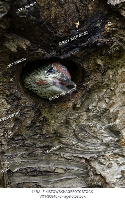 Green Woodpecker ( Picus viridis ), juvenile, chick, young looking out of its nest hole, Europe