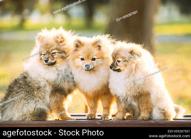 Three Young Red Puppy Pomeranian Spitz Puppy Dogs Sitting On Park Bench Outdoor