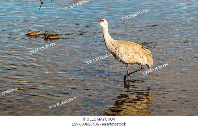 Big gray bird with red head American crane on the Birnaby lake Canada