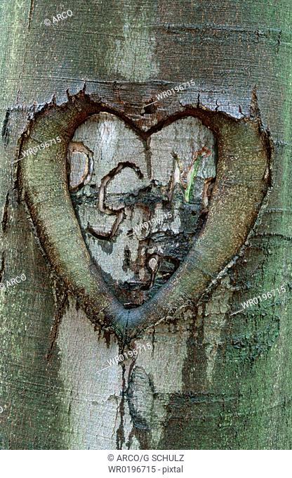 Heart, in, beech, bark, Thuringia, Germany, Fagus, sylvatica