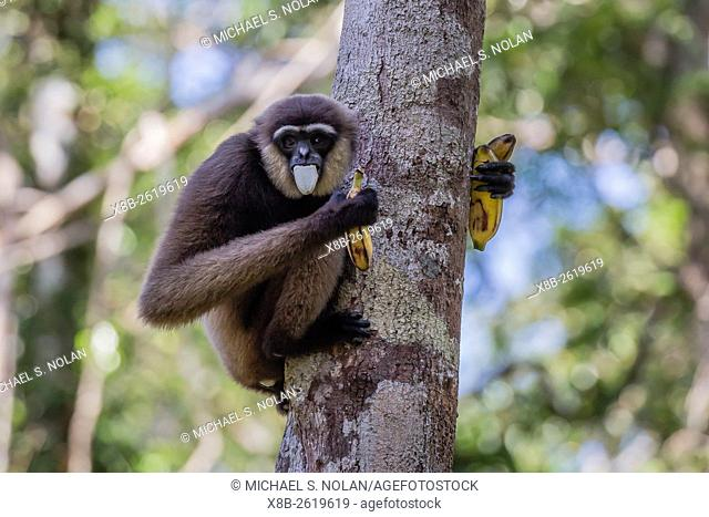 An adult Bornean white-bearded gibbon, Hylobates albibarbis, Camp Leakey, Tanjung Puting NP, Borneo, Indonesia