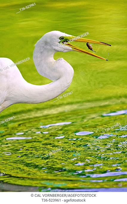 A Great Egret (Ardea alba) feeding on small bait fish at the Pool in New York City's Central Park. This common visitors to the park were almost wiped out in the...