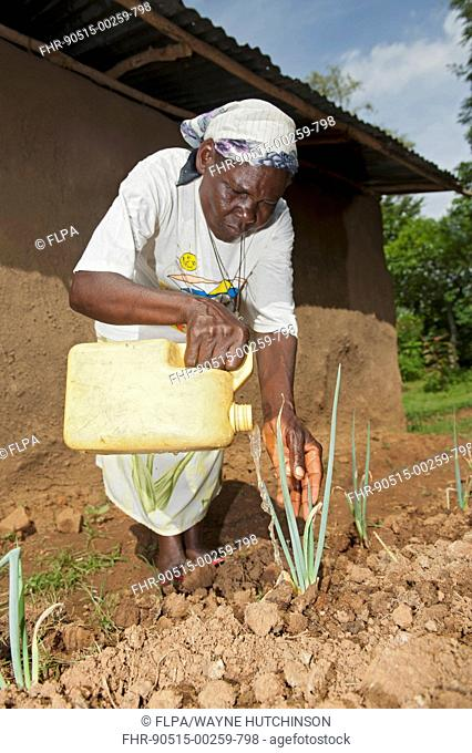 Woman watering onions in vegetable garden, applying water directly to plant, to help retain moisture more efficently, Kenya, June