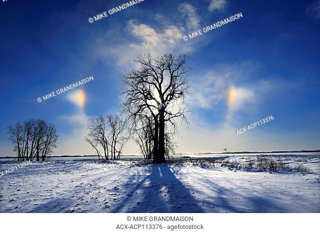 Sundogs and cottonwood tree (Populus deltoides), Grande Pointe, Manitoba, Canada