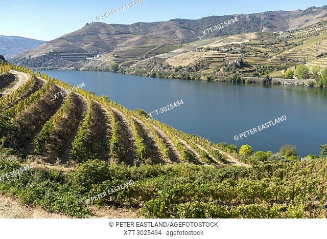 Vinyards on the slopes above the River Douro between Casais Do Douro and Pinhao. In the Alto Douro wine region, Northern Portugal
