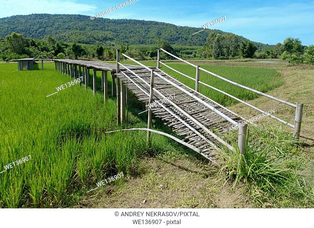 Bamboo bridge over the rice field, Loei province, Thailand