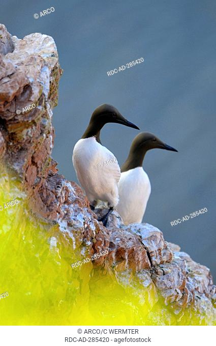 Common Guillemots, pair, Heligoland, Schleswig-Holstein, Germany / Uria aalge
