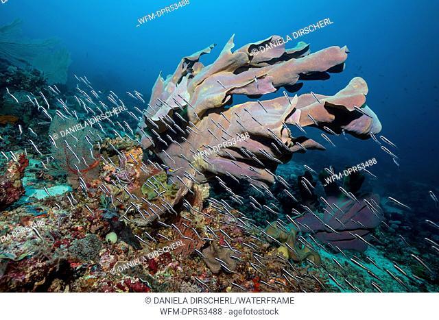 Elephant Ear Sponge in Coral Reef, Ianthella basta, Florida Islands, Solomon Islands