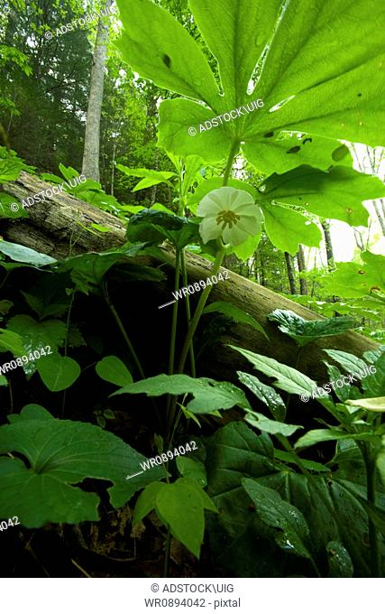 Mayapple, Spring, Great Smoky Mountains National Park, TN, USA