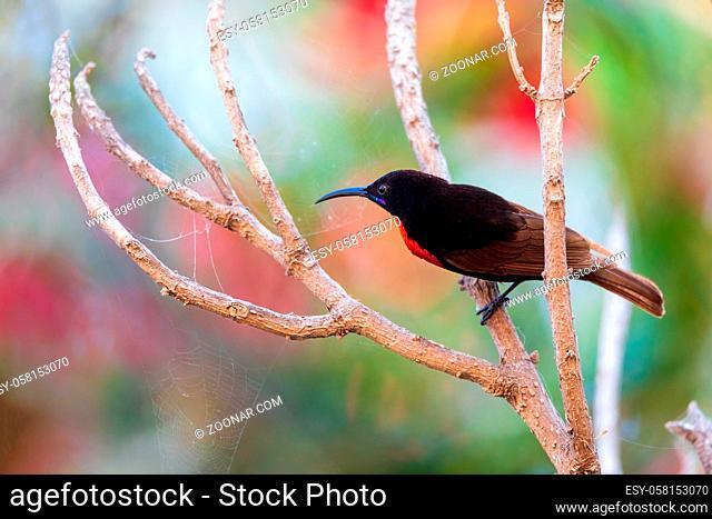 Scarlet-chested Sunbird on tree - Lake Zway or Lake Ziway - Ethiopia wildlife, Africa