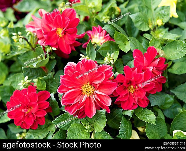 large red flowers dahlias close up