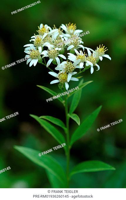 Flat-topped white aster, Aster umbellatus / Aster umbellatus