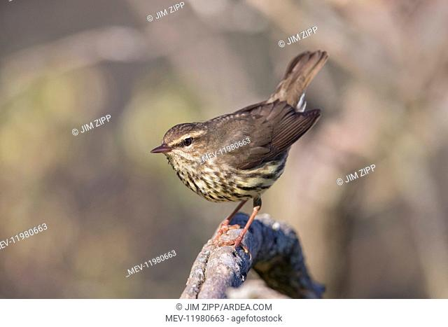 Northern Waterthrush perched on snag in marsh