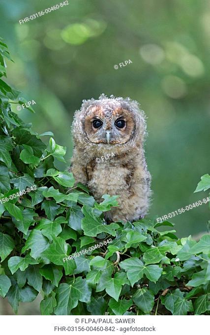 Tawny Owl (Strix aluco) juvenile, perched amongst ivy, August (captive)