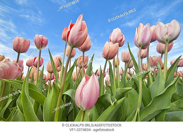 close up of pink tulips in bloom seen from below, Alkmaar polder, North holland, Netherlands
