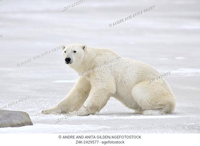 Polar bear (Ursus maritimus) rising on ice, Churchill, Manitoba, Canada
