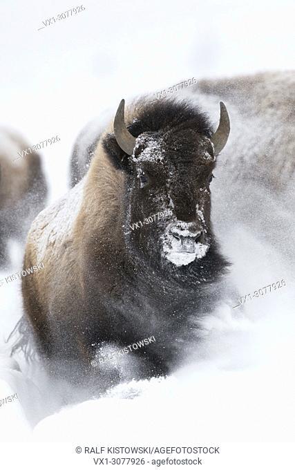 American bison ( Bison bison ) in winter, storming, running through fresh deep powder snow, frontal shot, Yellowstone NP, Wyoming, USA.