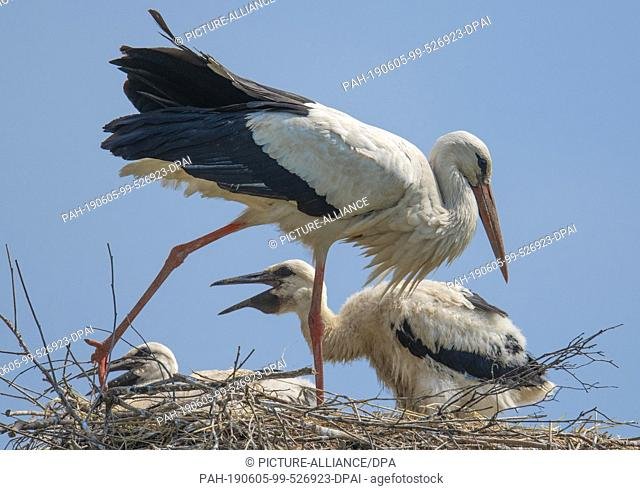 05 June 2019, Hessen, Biebesheim: With its offspring, a stork sits on its nest near the Rhine. One of the largest stork colonies in the country breeds in Ried...