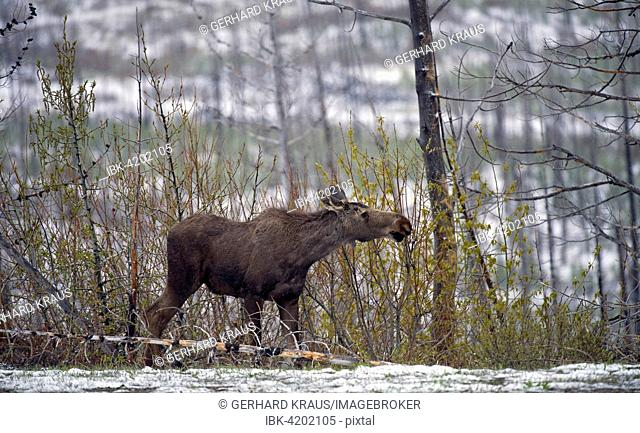 Moose (Alces alces), male, growing antlers, Grand Teton National Park, Wyoming, USA