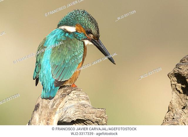 KIngfisher (Alcedo atthis) on an old trunk watching the river before plummeting over a dam, Extremadura, Spain