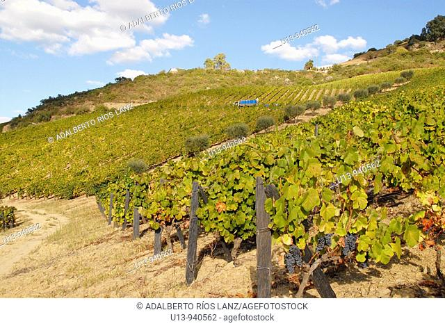 Grape Fields at the Symington States, Pinhao,  Duoro Valley, Duoro, Portugal