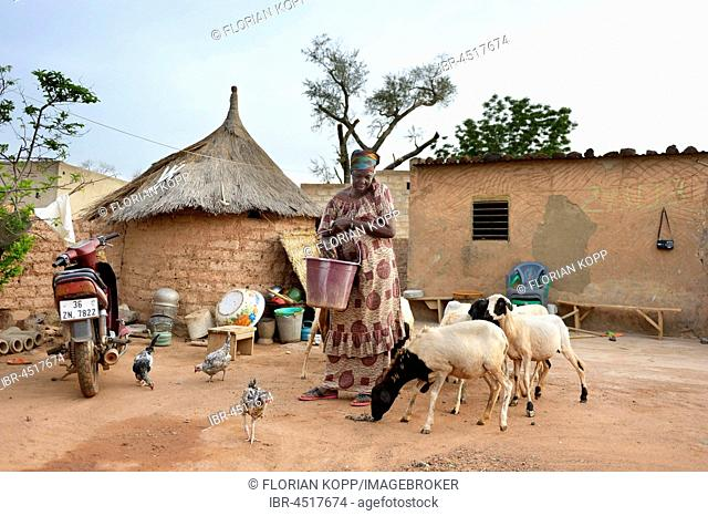 Woman feeding chickens and sheep with corn and sorghum, Toeghin village, Oubritenga province, Plateau Central region, Burkina Faso